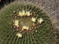 Ferocactus natrix