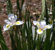 Moraea grandiflora