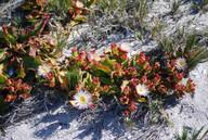 Mesembryanthemum alatum