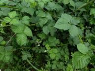Rubus gothicus