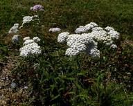 Achillea millefolium ssp. millefolium