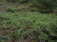 Lycopodium annotinum ssp. annotinum