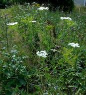 Chaerophyllum bulbosum ssp. bulbosum