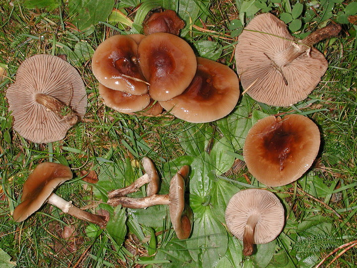 Agrocybe erebia