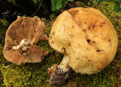 Agrocybe cylindrica