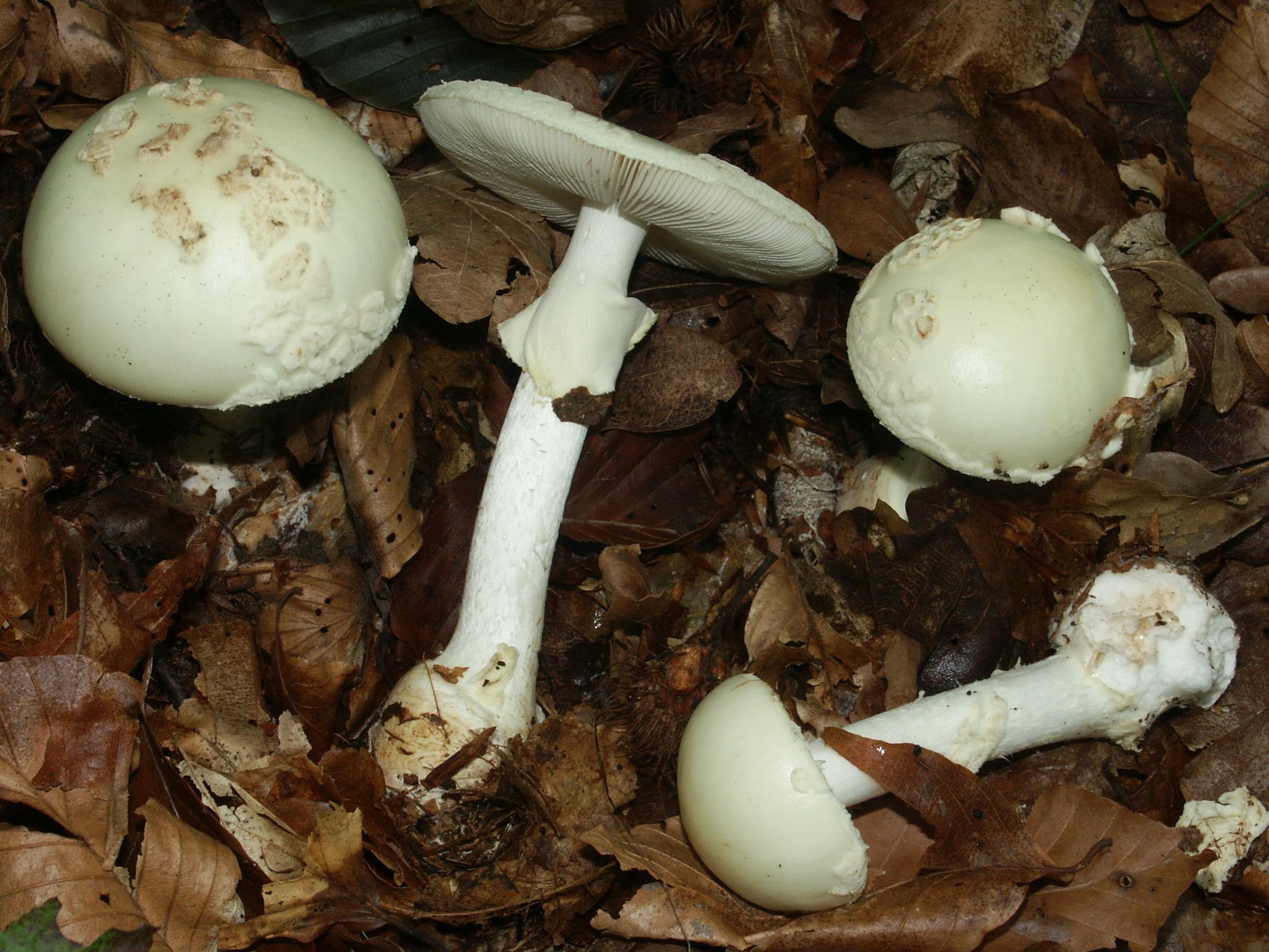 Fungus Gallery Amanita MINA1542
