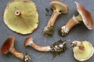 Boletinus cavipes
