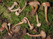 Camarophyllopsis micacea
