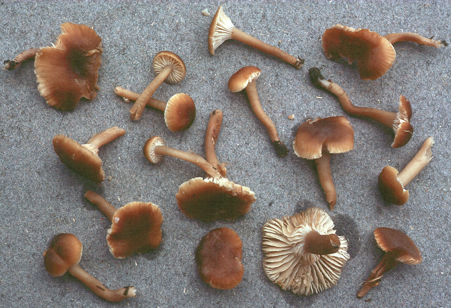 Camarophyllopsis schulzeri