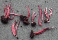 Clavaria rosea