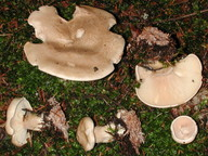 Clitocybe alexandri