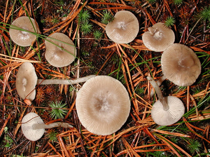 Clitocybe vibecina