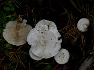 Clitocybe candicans