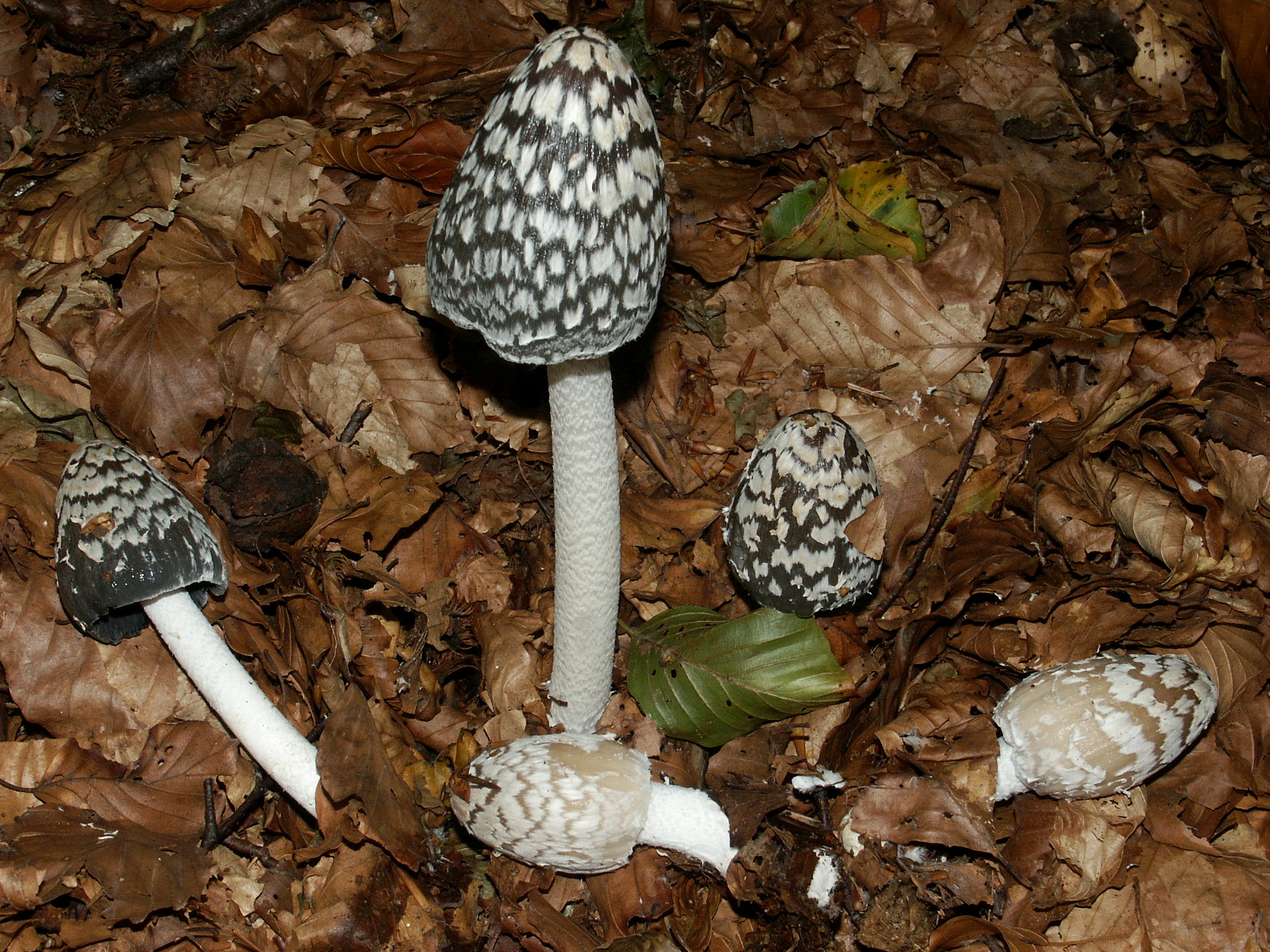 Coprinus picaceus