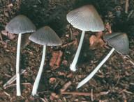 Coprinus domesticus