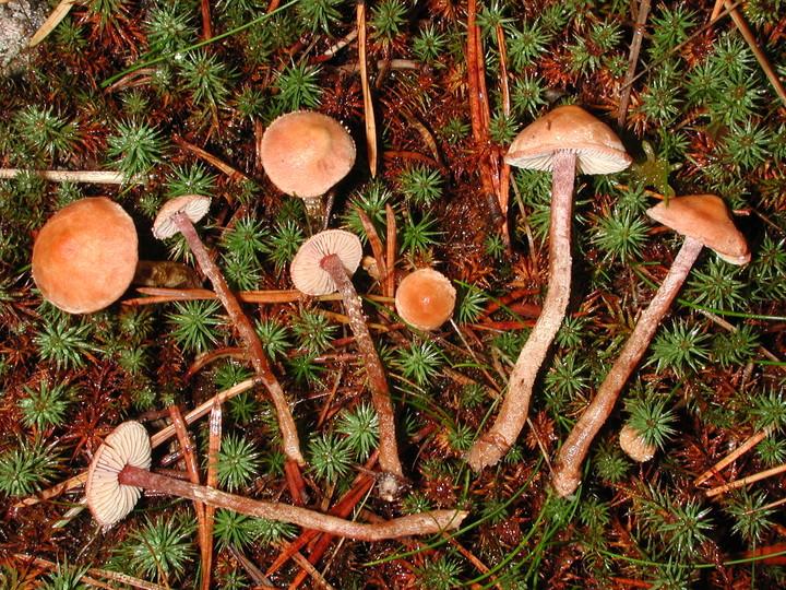 Cystoderma lilacipes