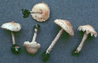 Cystolepiota adulterina