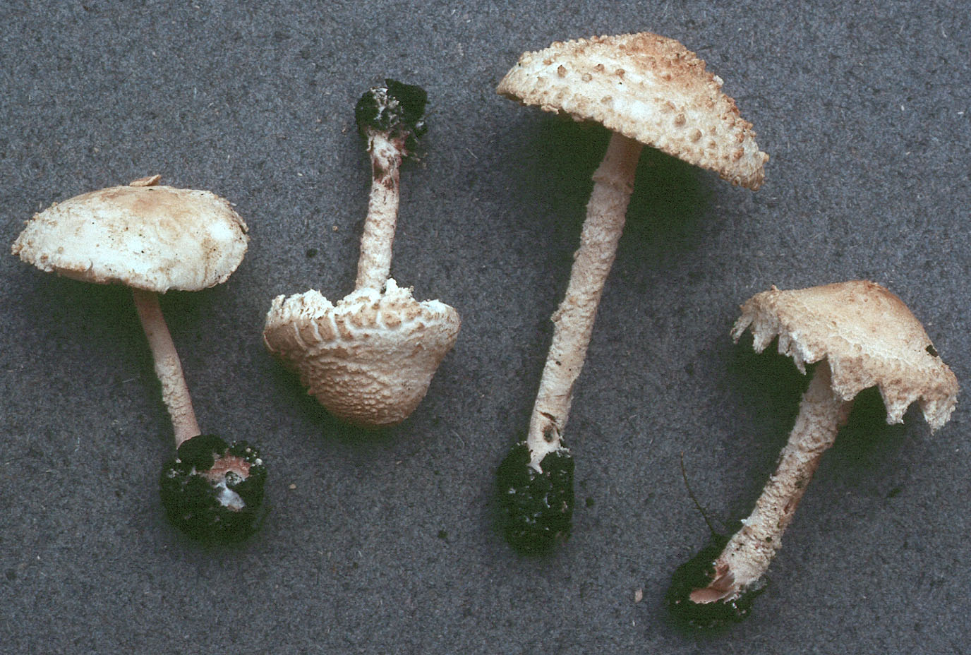 Cystolepiota adulterina
