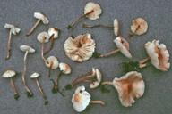 Cystolepiota seminuda
