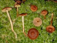 Cortinarius tubarius