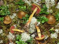Cortinarius semisanguineus