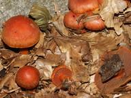 Cortinarius cinnabarinus