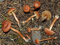 Cortinarius uliginosus