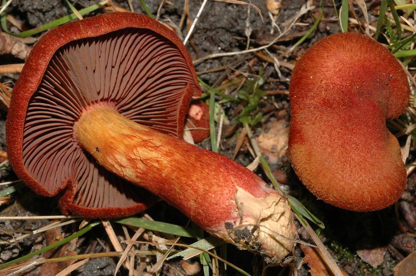Cortinarius phoeniceus