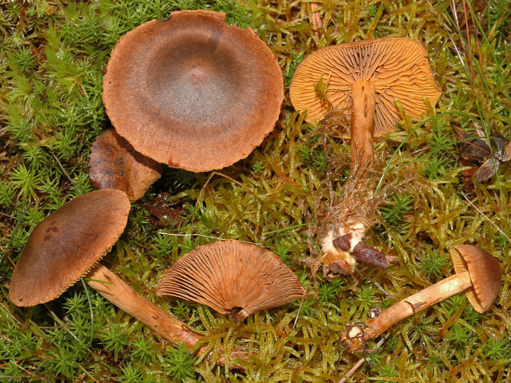 Cortinarius sommerfeltii