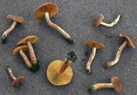 Cortinarius aureifolius