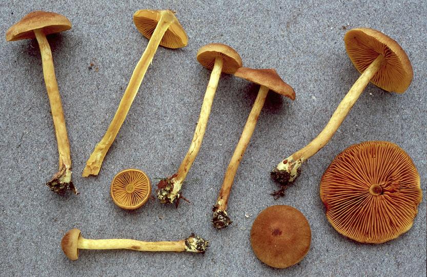 Cortinarius cinnamomeoluteus
