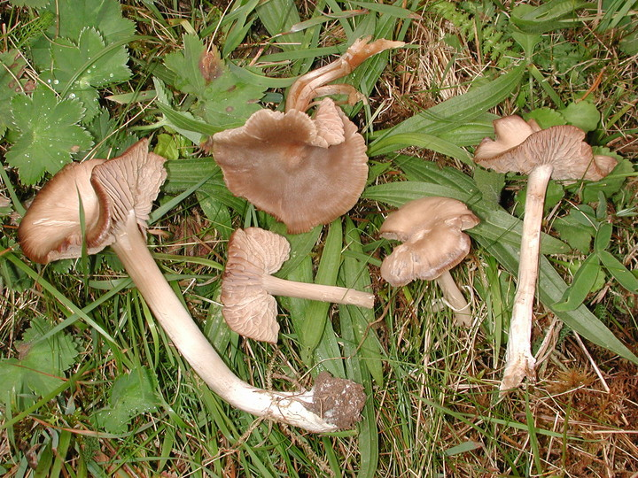 Entoloma ameides