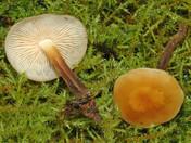Flammulina fennae