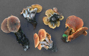 Gymnopilus odini