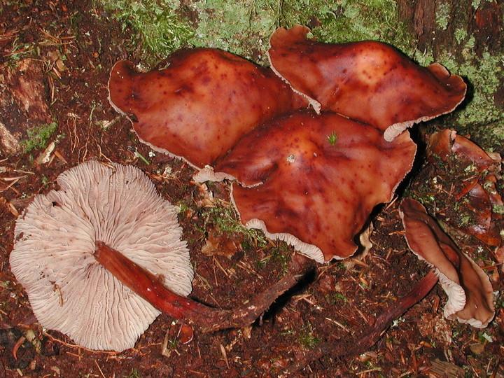 Gymnopus fusipes