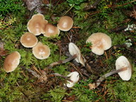 Gymnopus impudicus