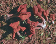 Gyromitra infula