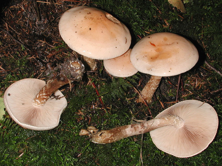 Hebeloma edurum