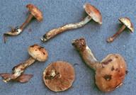 Hebeloma birrus