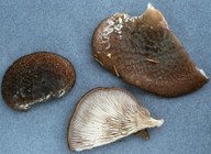 Hohenbuehelia atrocoerulea