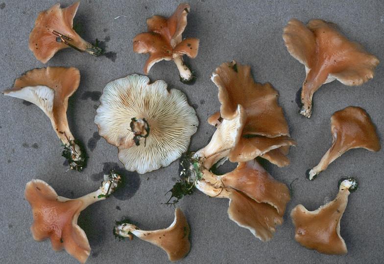 Hohenbuehelia petalodes