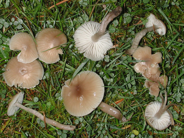 Hygrocybe irrigata