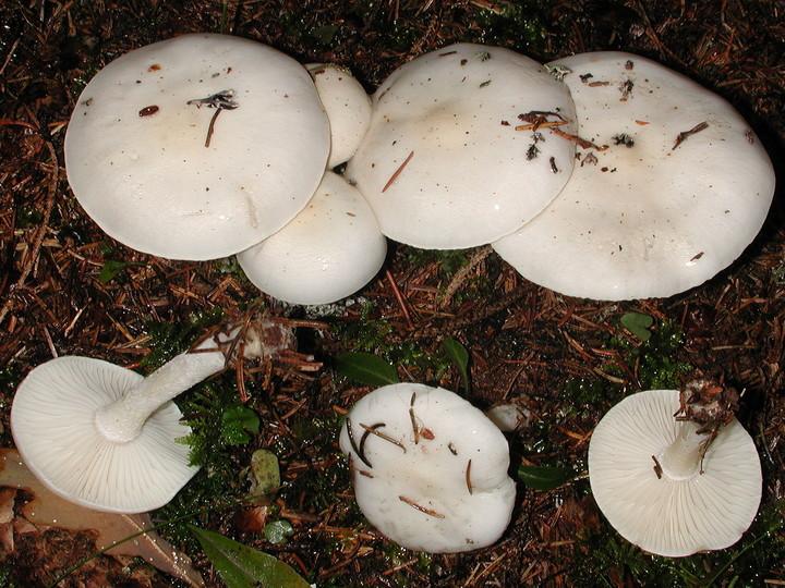 Hygrophorus agathosmus f. alba