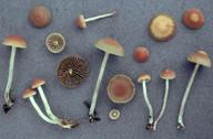 Hypholoma ericaeoides
