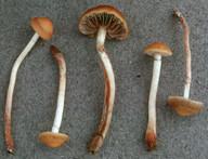 Hypholoma subericaeum