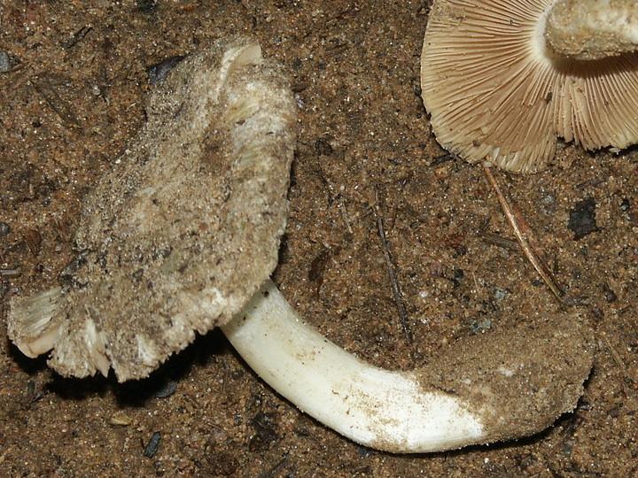 Inocybe sambucina