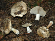 Inocybe fibrosa