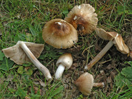 Inocybe obsoleta
