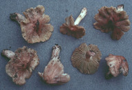 Inocybe adaequata