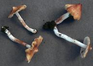 Inocybe flavella